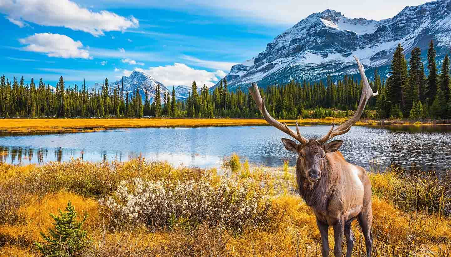 Stag by a Lake in the Mountains in Canada