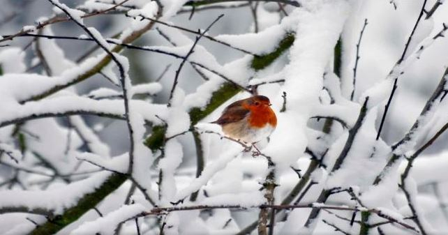 ROBIN RED BREAST IN THE SNOW........Beautiful.......