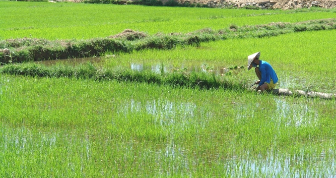 A Man Tending to his Rice Paddy in Việt Nam